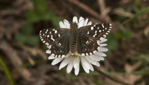 Mariposa ajedrezada serrana