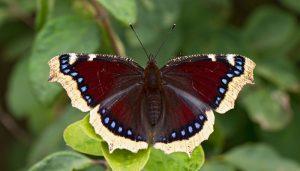 Mariposa Antiopa: Descripción, Ciclo De Vida, Distribución Y Más