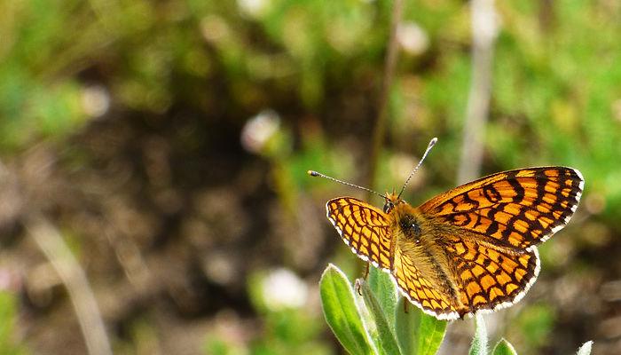 Mariposa doncella ibérica