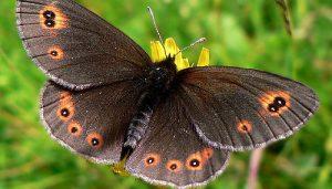 Mariposa Erebia Medusa: Descripción, Hábitat, Ciclo De Vida Y Más