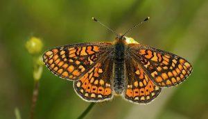 Mariposa Doncella De Ondas Rojas: Descripción, Ciclo De Vida Y Más