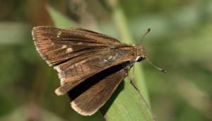 Mariposa Veloz De Las Rieras: Descripción, Vuelo, Distribución Y Más