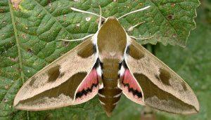 Mariposa Esfinge De La Euforbias: Descripción, Ciclo De Vida Y Más