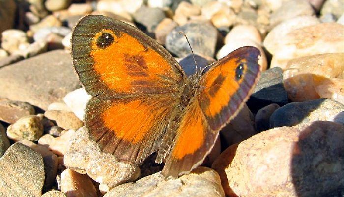 Mariposa Lobito jaspeado Pyronia cecilia