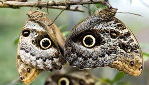 Mariposa Búho: Descripción, Características, Distribución Y Más