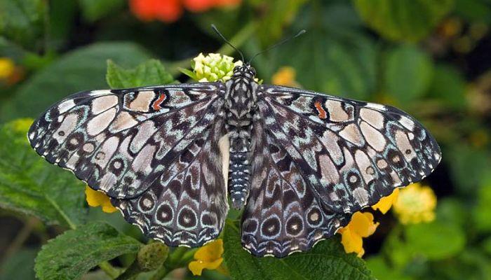 Mariposa chasqueadora gris