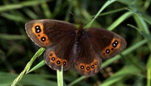Mariposa Erebia Cantábrica Palarica