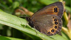 Mariposa Erebia Oeme