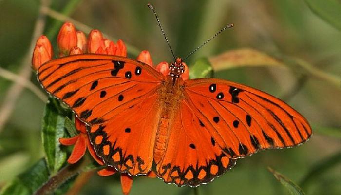 Mariposa Espejitos: Descripción, Hábitat, Ciclo De Vida Y Más