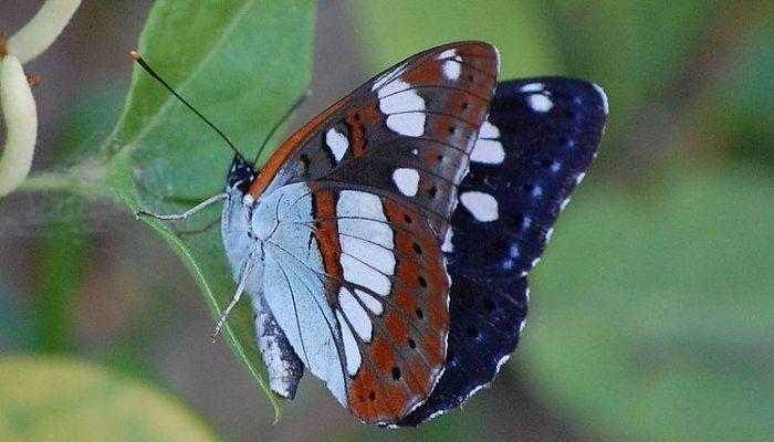 mariposa ninfa de arroyos