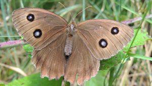 Mariposa Ocelos Azules: Descripción, Ciclo De Vida, Distribución Y Más