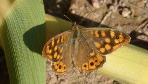 Mariposa Saltacercas: Descripción, Hábitat, Distribución Y Más