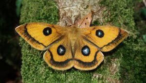 Mariposa Tau: Descripción, Características, Ciclo De Vida Y Más