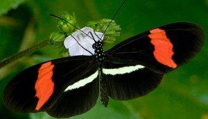 Mariposa almendra común heliconius erato