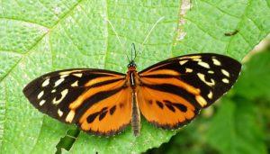 Mariposa Armoniosa: Descripción, Comportamiento Adulto Y Distribución
