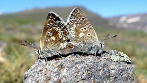 Mariposa Del Puerto Del Lobo: Descripción, Características, Hábitat Y Más