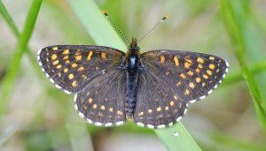 Mariposa doncella oscura Meliataea diamina