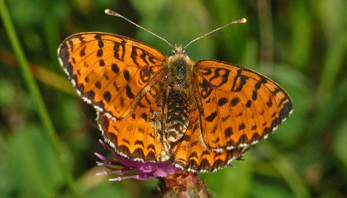 Mariposa Doncella Tímida: Descripción, Distribución Y Hábitat