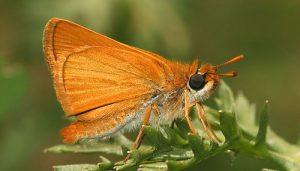 Mariposa Dorada Oscura: Descripción, Características, Hábitat Y Más