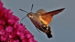 Mariposa esfinge colibri macroglossum stellatarum
