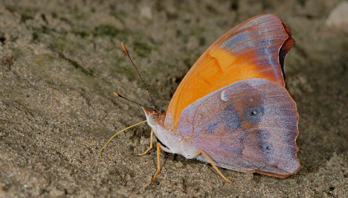 Mariposa mandarina temenis laothoe