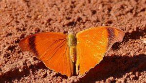 Mariposa mandarina