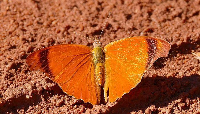 Mariposa Mandarina: Descripción, Hábitat, Ciclo De Vida Y Más