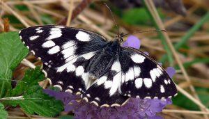 Mariposa medioluto norteña