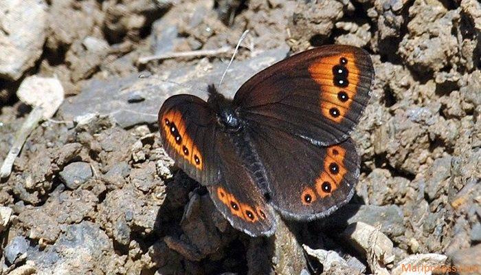 Mariposa montañesa vacilante Erebia triaria