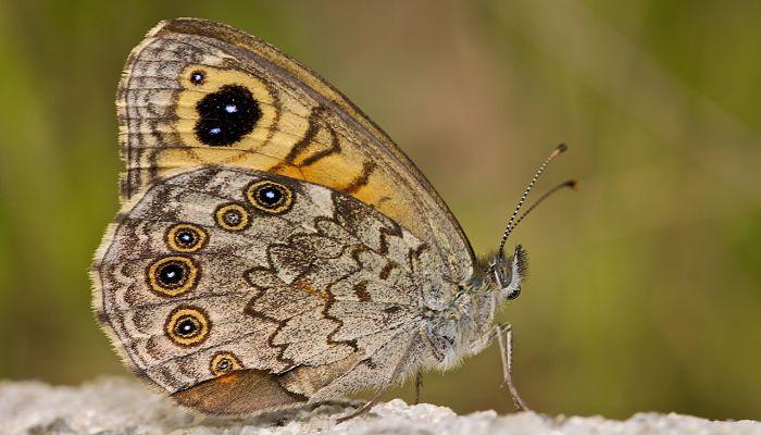 Mariposa Pedregosa: Descripción, Características, Hábitat Y Más
