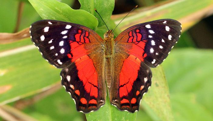 Mariposa princesa roja Anartia amathea