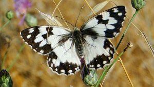 Mariposa Medioluto Ibérica: Descripción, Alimentación, Vuelo Y Más