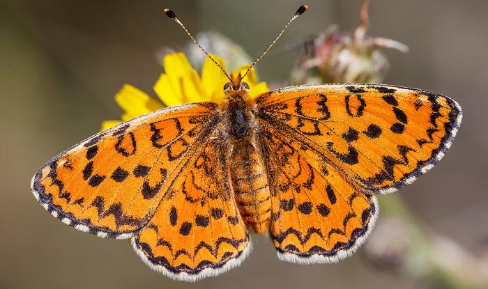 Mariposa doncella del gordolobo