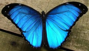 Mariposa Morfo Azul: Características, Ciclo De Vida, Hábitat Y Más