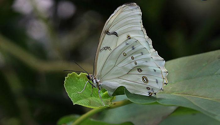 Mariposa morfo blanca