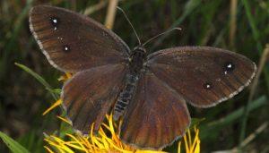 Mariposa Negra Mayor: Descripción, Ciclo De Vida, Distribución Y Más
