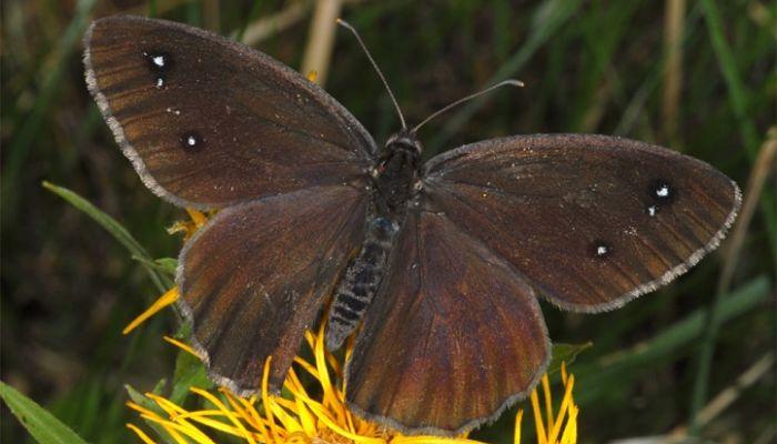 Mariposa negra mayor