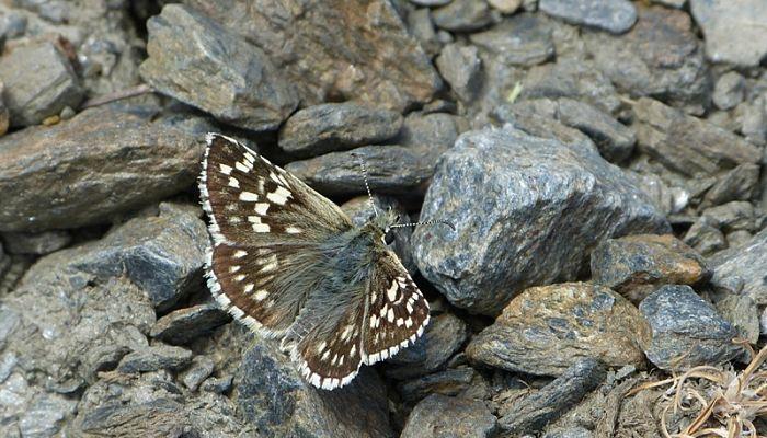 Mariposa Ajedrezada: Descripción, Ciclo de Vida, Distribución Y Hábitat