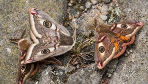 Mariposa Pequeño Pavón Nocturno: Descripción, Características Y Más