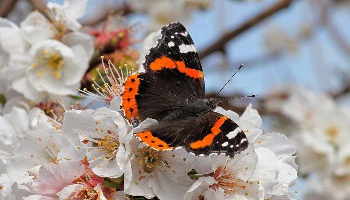 Mariposa Vanesa: Descripción, Hábitat, Distribución, Migración Y Más