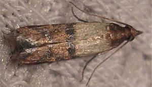 Mariposa Polilla De La Fruta Seca: Descripción, Ciclo De Vida Y Más