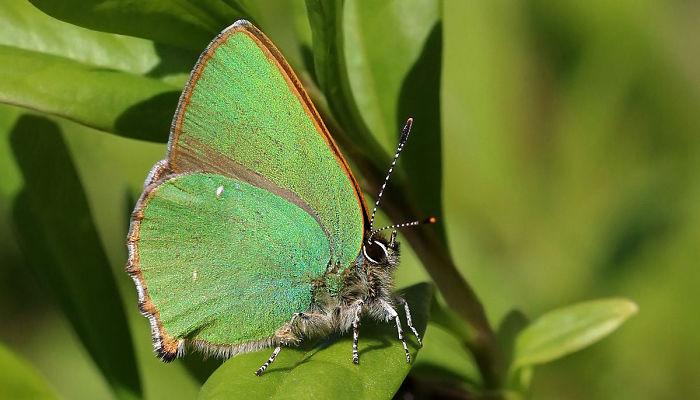 Mariposa Cejialba Callophrys rubi