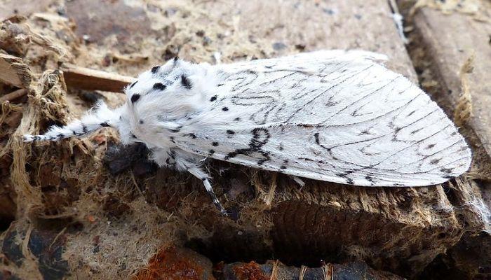 Mariposa Cerura Erminea