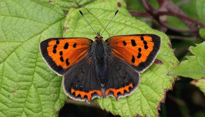 Mariposa Manto bicolor lycaena phlaeas