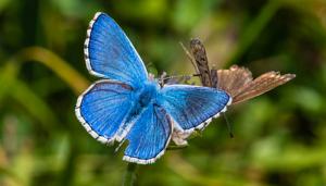 Mariposa Niña Celeste: Descripción, Hábitat, Ciclo de Vida Y Más