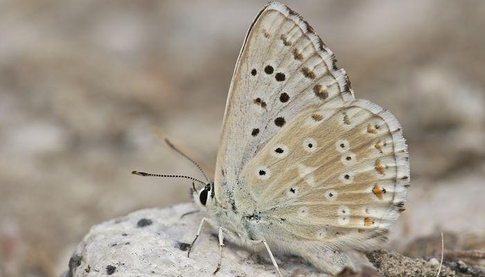 Mariposa andaluza polymmatus albicans