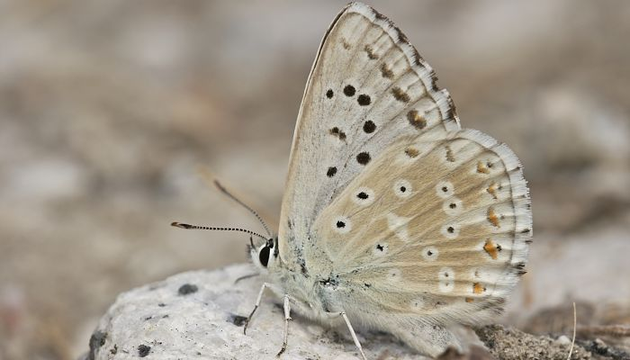 Mariposa niña andaluza polymmatus albicans