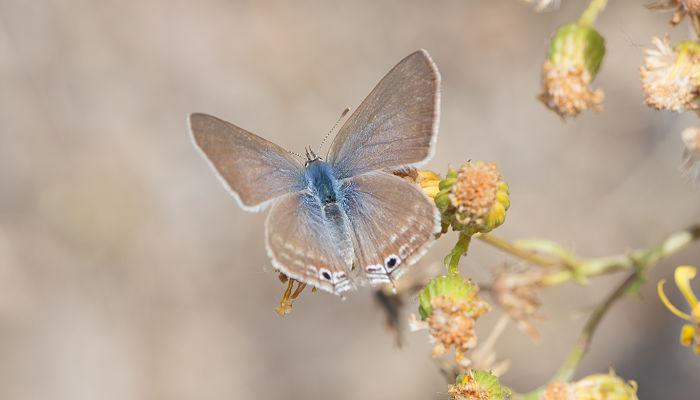 Mariposa canela estriada