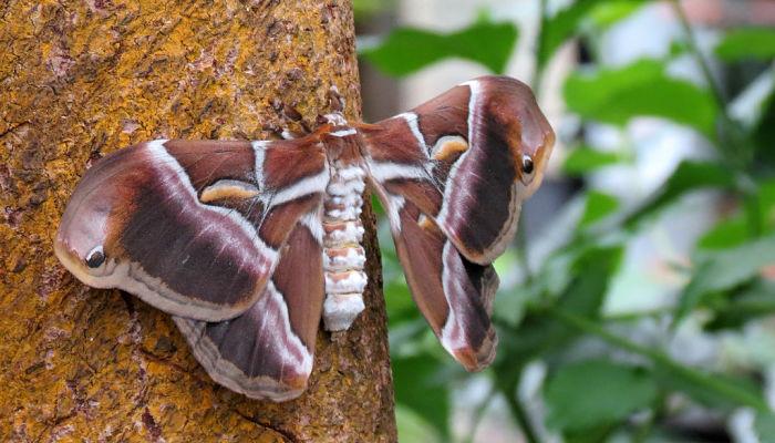 Mariposa de la seda del ricino