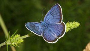 Mariposa falsa limbada Polyommatus semiargus